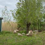 Rackaschapen houden ganzenpopulatie in toom
