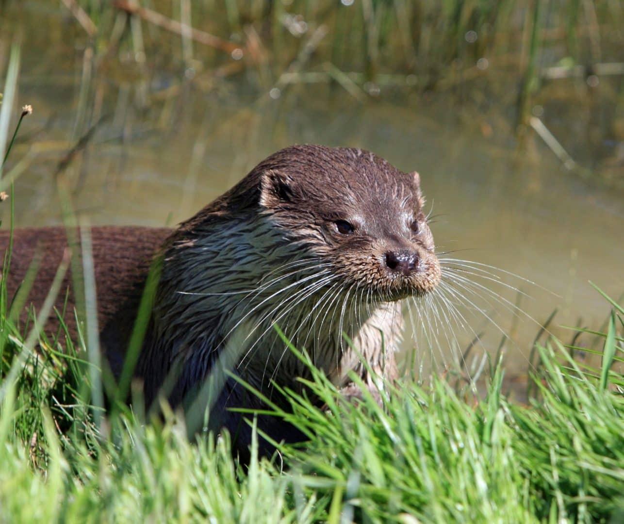Faunapassage bij A12 werkt goed: otters maken opmars vanuit Nieuwkoopse Plassen