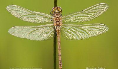 Het uitsluipen van libellen in 'Natuur & Fotografie' (Afl. 5)